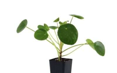 Pilea – A well-rounded plant